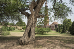 A slightly withered yet firmly grounded Salvadora (Salvadora oleiodes) tree at the Qutub Minar complex (Credit: Adithyan P C/CSE)