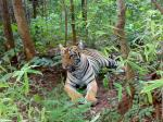 Maharashtra High Court quashes shoot-at-sight order against tiger