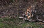 Around 20 tigers poached in Corbett national park in last two years: wildlife warden