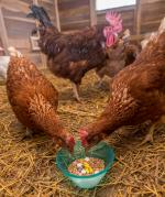Two-thirds poultry farms in India use antibiotics for growth promotion