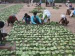 Odisha tribals to sell kendu leaves and exercise their forest rights