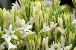 भारत में भी उग सकते हैं रजनीगंधा के रंगीन फूल