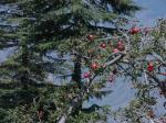 सेब पर जलवायु परिवर्तन की मार