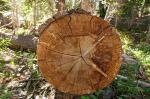 Why do we study tree rings and what do they tell us?