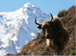 Yak in Indian Himalayas face threat of climate change