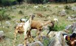 Can goats secure livelihood for small and marginal farmers?