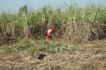 Sugarcane crisis:Govt focuses on technology fixes, but not on mounting dues to farmers