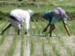 Climate change will make rice less nutritious, putting millions of the world's poor at risk