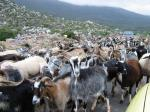 How resilient are indigenous goats to climate change