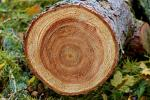 Analysis of Himalayan tree rings shows decline in summer monsoon for the last 180 years