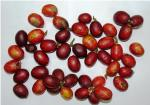 Wild blood fruit, a source of natural red colourant, may be domesticated