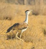 One of the first Great Indian Bustard chicks of this year's breeding season spotted