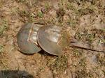 In 2 years, 1 lakh endangered horseshoe crabs saved in Odisha
