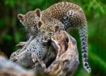Two leopard cubs harassed by residents in Maharashtra tiger reserve; one dies