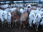 गाय संकट- 3, मेवात का कलंक