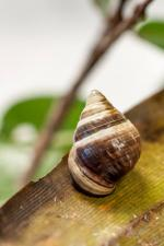 This Hawaiian tree snail is the first extinction of 2019