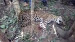 Leopard dies after getting caught in poachers' trap in Odisha