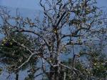 हिमालय के अधिक ऊंचाई वाले क्षेत्रों में सिमट रहा है सेब उत्पादन