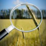Scientists identify proteins linked with wheat infection