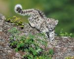 Local communities key inconservation of snow leopards: study