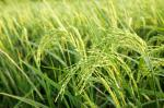More nitrogen may help offset effect of climate change on wheat: study
