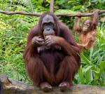 Astro-ecology: Counting orangutans using star-spotting technology