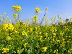 How tiny pests traverse long distance to attack mustard crops