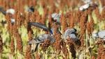 Birds impacting agricultural crops a major concern