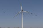 पक्षियों के लिए खतरा बन रही हैं पवन-चक्कियां: अध्ययन