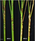 Scientists unravel fungus responsible for Sheath Blight disease in rice