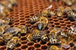 US beekeepers lost 40% honey bee colonies in a year: Survey