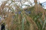 मोटा अनाज उगाएं किसान तो नहीं होगा जलवायु परिवर्तन का असर