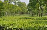 वैज्ञानिकों की खोज, रसायन मुक्त चाय उत्पादन में मददगार हो सकते हैं सूक्ष्मजीव