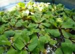 नई खोज: पौधा निकालेगा पानी से आर्सेनिक