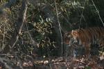 खतरे में बाघों के ठिकाने फिर भी 12 सालों में संख्या हुई डबल