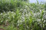 113 साल के आंकड़ों का विश्लेषण, अधिक बारिश से हो रहा फसलों का नुकसान