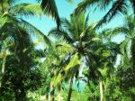 ICAR researchers produce coconut palm plantlets using tissue culture