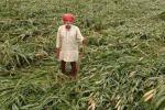 बर्बाद फसल के मुआवजे के लिए भटक रहे हैं उत्तरप्रदेश के किसान
