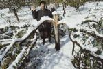 बर्फबारी से कश्मीर में टूटे सेब के पेड़, मुआवजे की मांग