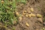 बारिश-ओलों ने बढ़ाई किसानों की मुसीबत, आलू-दलहन को नुकसान की आशंका