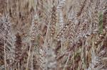 फसलों को फंगल से बचाएगा यह केमिकल: रिसर्च