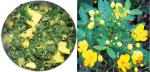 Not so wild: Sickle senna is widely available, nutritious but not much known