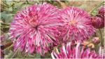 जल्द नहीं मुरझाएगा यह फूल, वैज्ञानिकों ने विकसित की नई किस्म