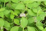 वैज्ञानिकों ने विकसित की मेन्था की नई प्रजाति, 15 से 20% अधिक होगा उत्पादन