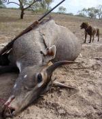 3000 नील गायों को मारेगी सरकार, पर किसानों ने निकाला बचाव का दूसरा तरीका