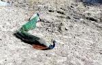 अब राजस्थान में क्यों मर रहे हैं मोर?