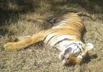 पलामू टाइगर रिजर्व में बाघिन की मौत पर क्यों मचा बवाल