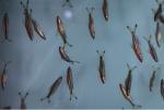 वैज्ञानिकों ने पता लगाया एक साथ कैसे तैरती हैं मछलियां