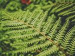 वैज्ञानिकों ने खोजी फर्न की नई प्रजाति