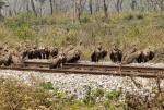 उत्तर बंगाल में क्यों बढ़ रही है गिद्धों की संख्या?